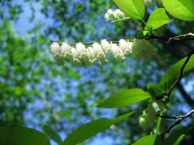 Sourwood (Oxydendrum arboreum) Flower