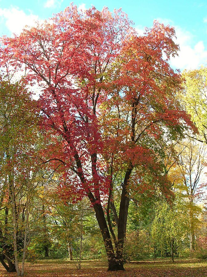 Sourwood Tree (Oxydendrum arboreum) in the fall