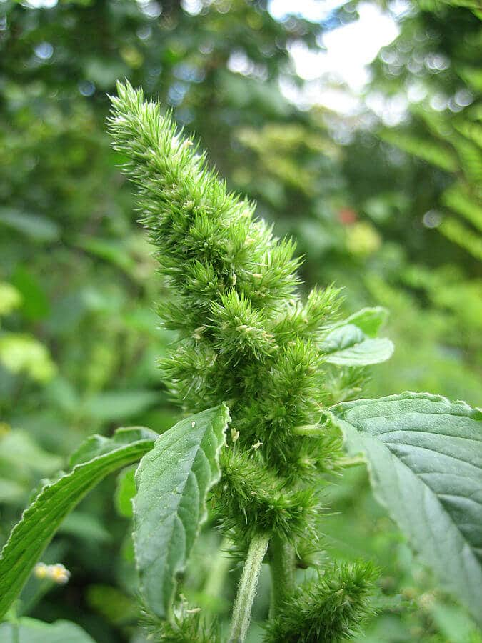 Redroot pigweed (Amaranthus retroflexus) Flower