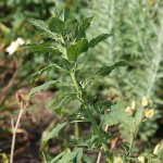 Redroot pigweed (Amaranthus retroflexus)