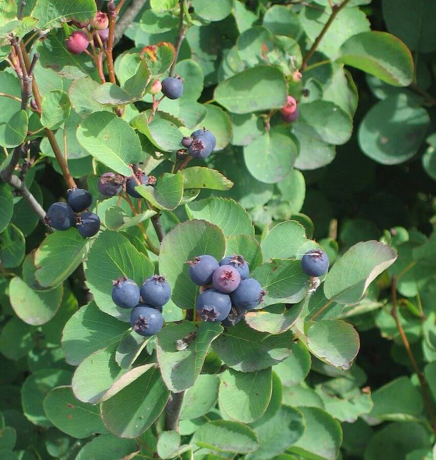 Juneberry (Amelanchier alnifolia) Fruits