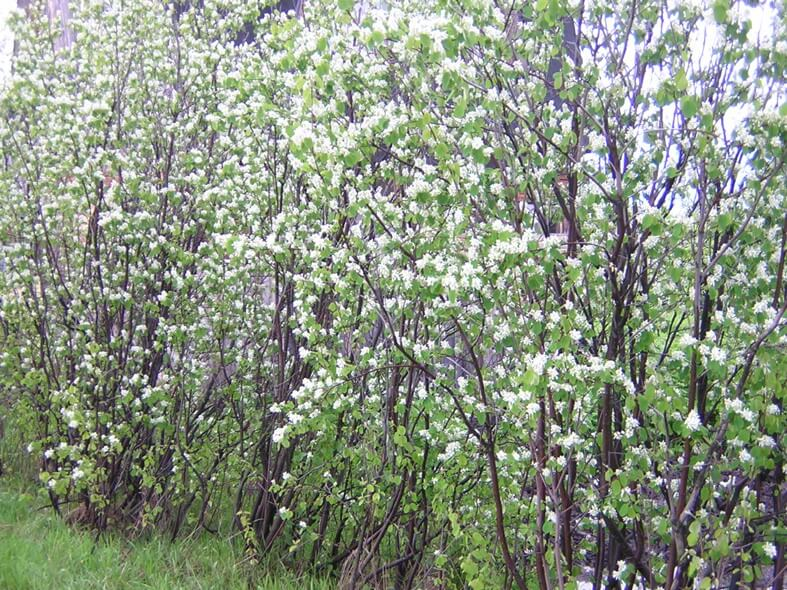 Juneberry Tree (Amelanchier canadensis)