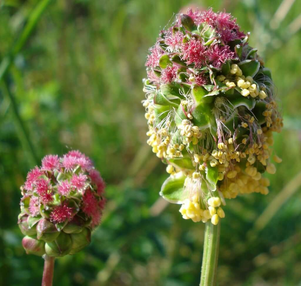 Sanguisorba minor flower