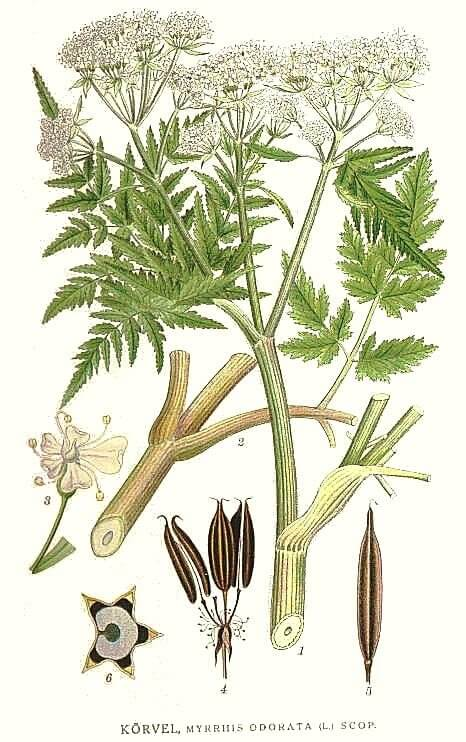 Cicely (Myrrhis odorata) Botanical Illustration