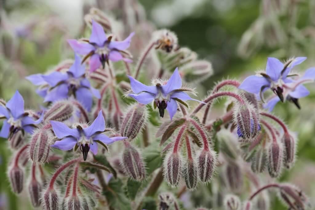 Purple Borage Flowers