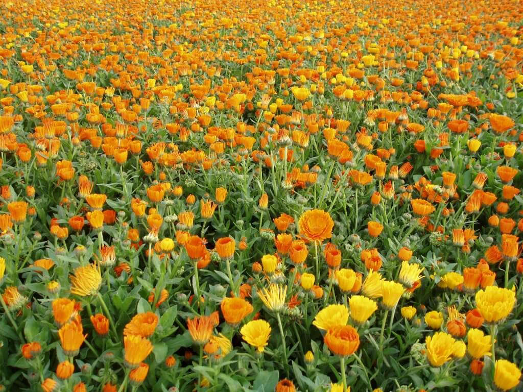 Calendula Being Grown For Cultivation