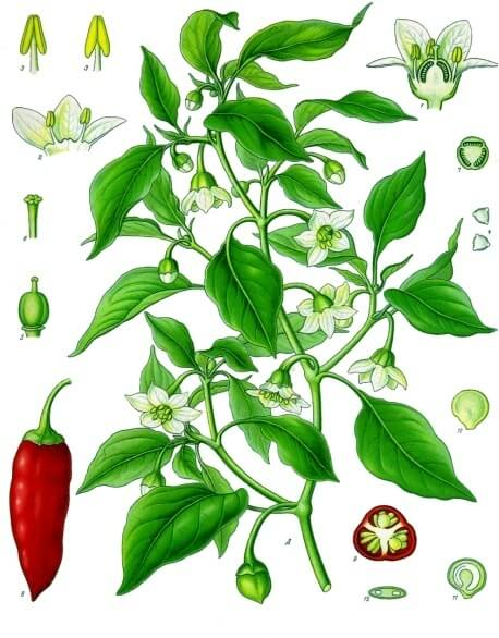 Capsicum annuum Botanical Illustration