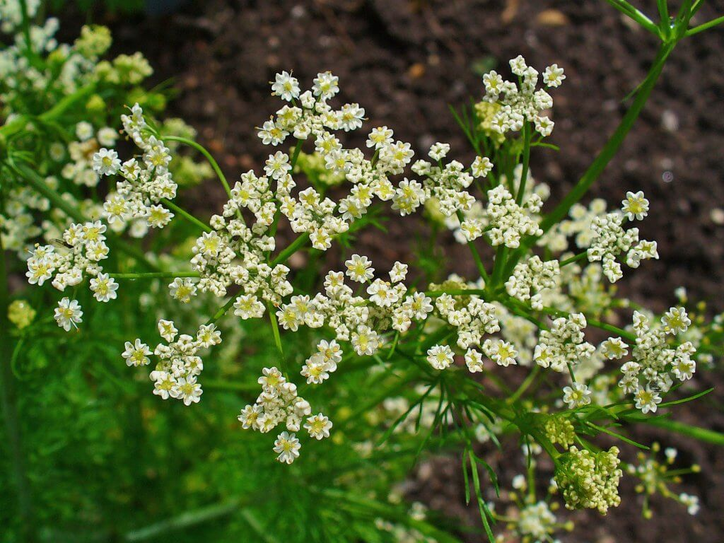 Caraway Plant Flowers
