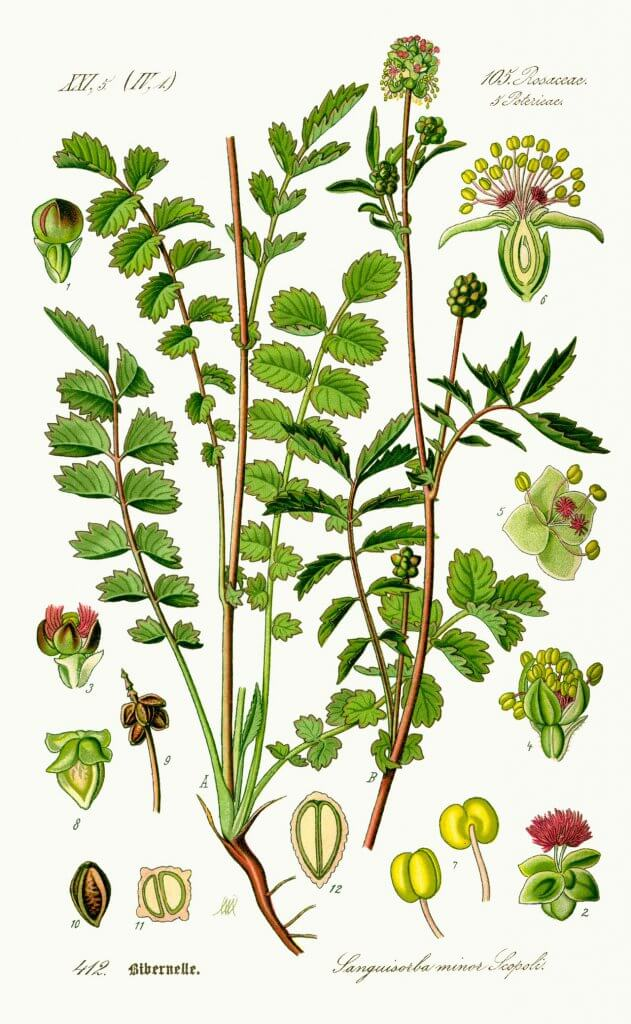 Burnet Illustration