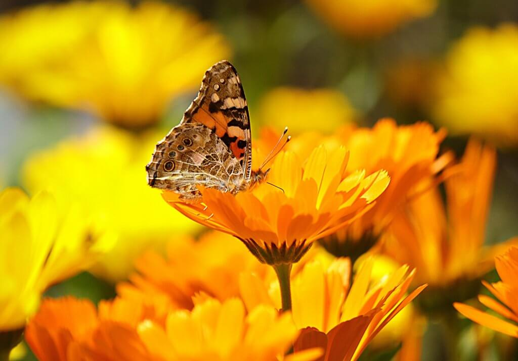 Butterfly perched on Calendula