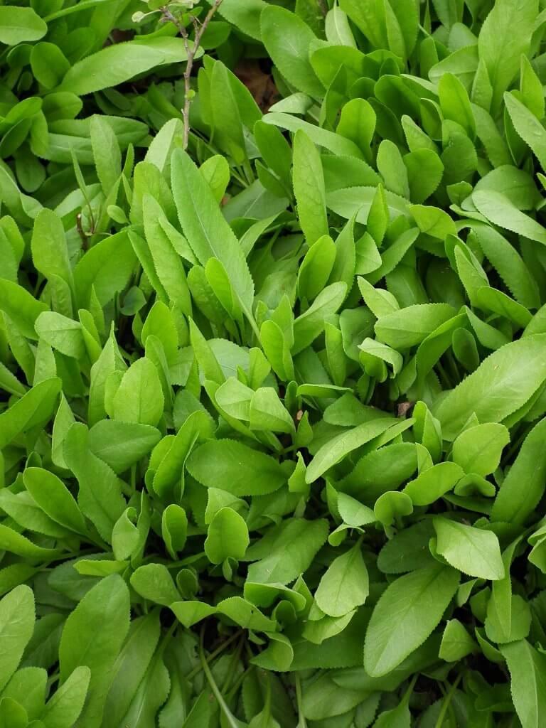 Tanacetum balsamita Leaves