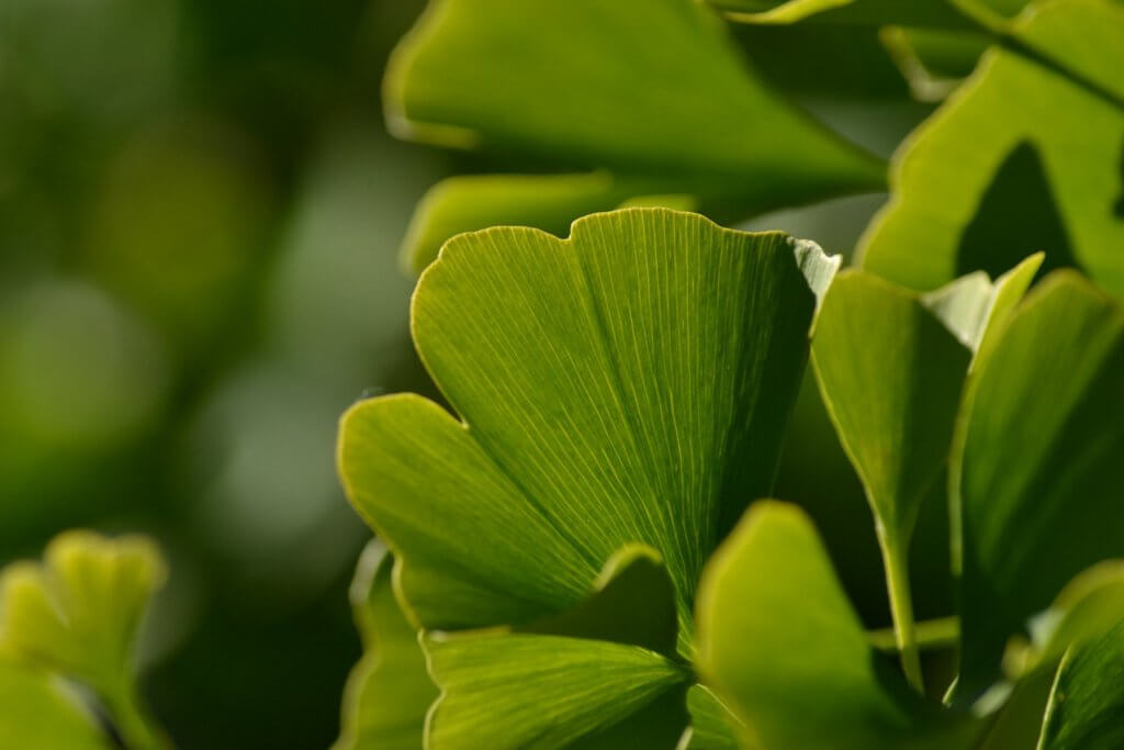 Gingko Biloba Leaves