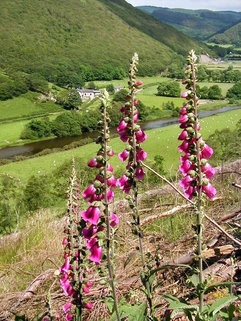 Foxgloves in Wales, UK