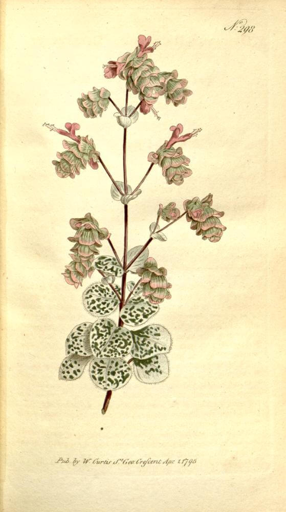 Botanical Illustration of Origanum dictamnus