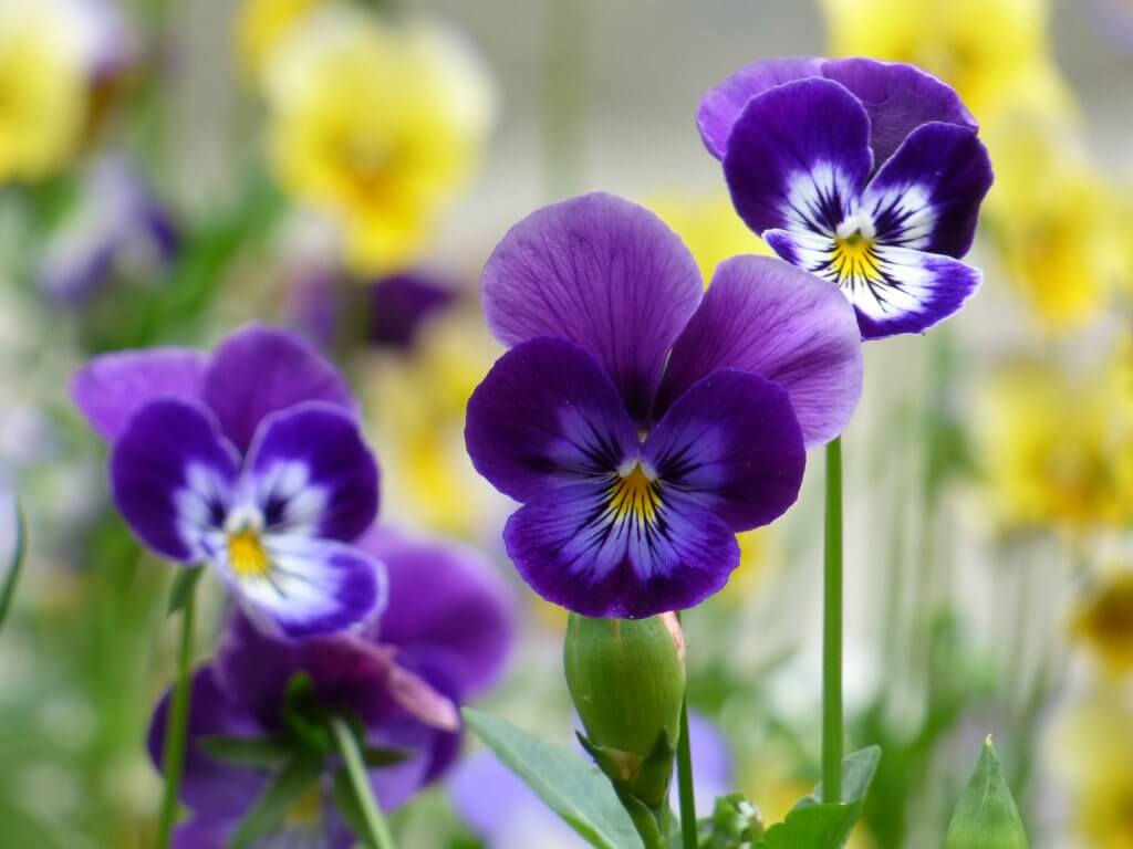 Johnny Jump Up, Viola tricolor