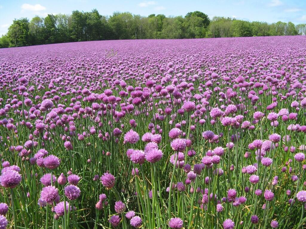 Chive Cultivation