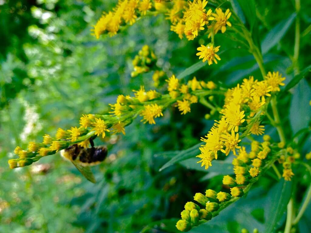 Goldenrod (Solidago juncea)
