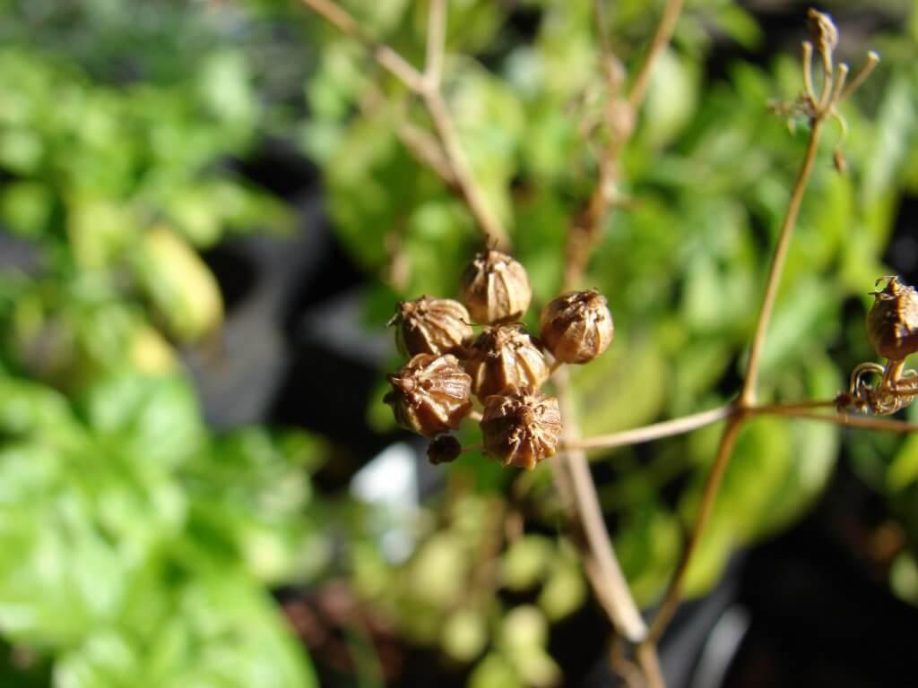 Coriandrum sativum (fruit)