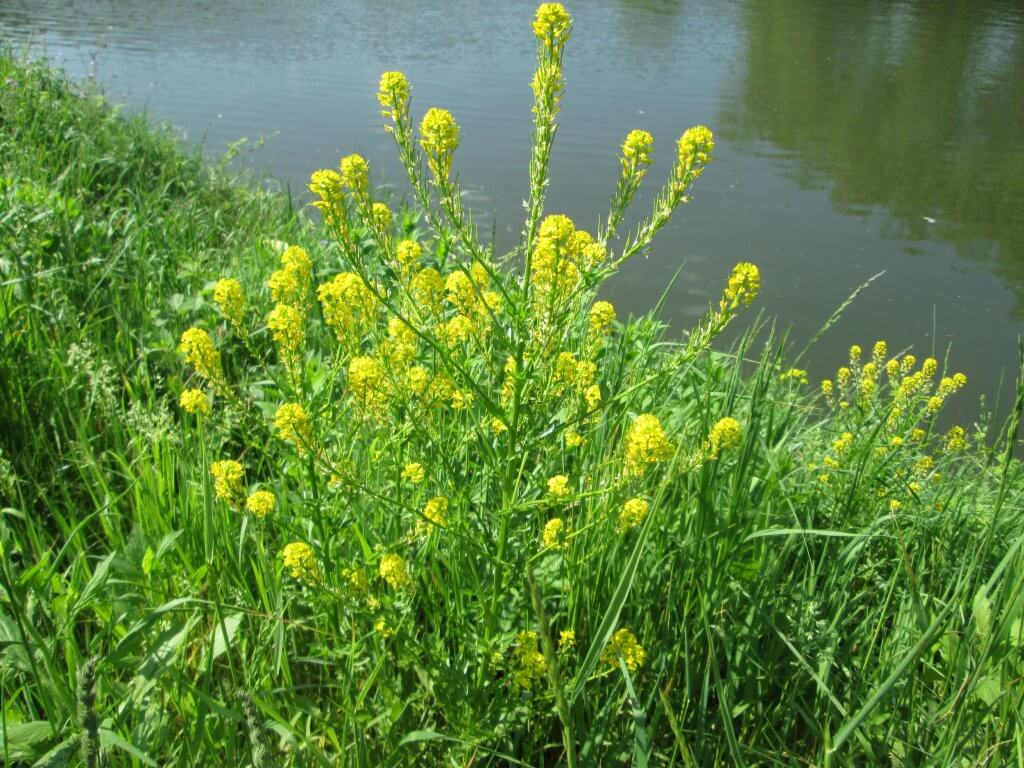 Winter cress next to a river (Barbarea vulgaris)