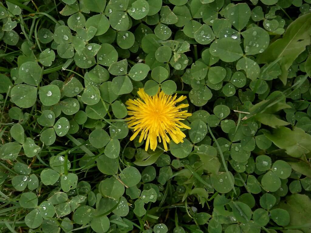 Dandelion Flower amongst White Clover Leaves