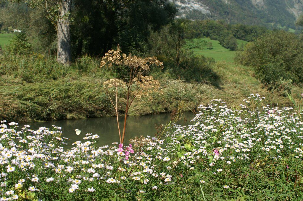 Ox-eye daisies (Leucanthemum vulgare) on a riverbank