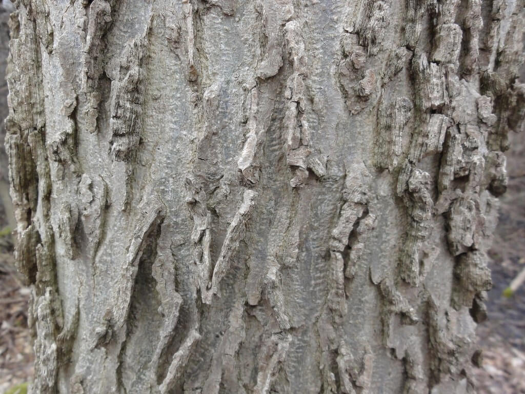 Closeup of the ridged bark of (Celtis occidentalis)