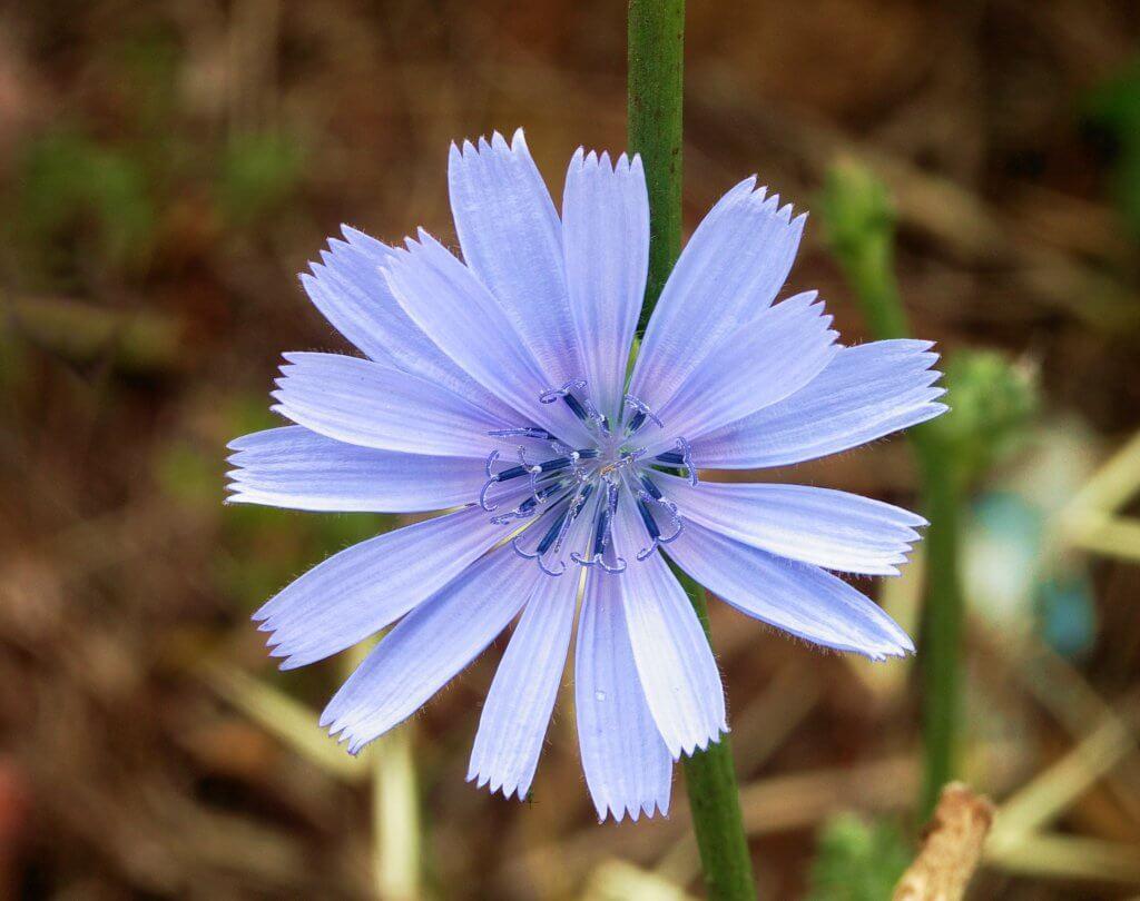 Chicory Flower (Cichorium intybus)