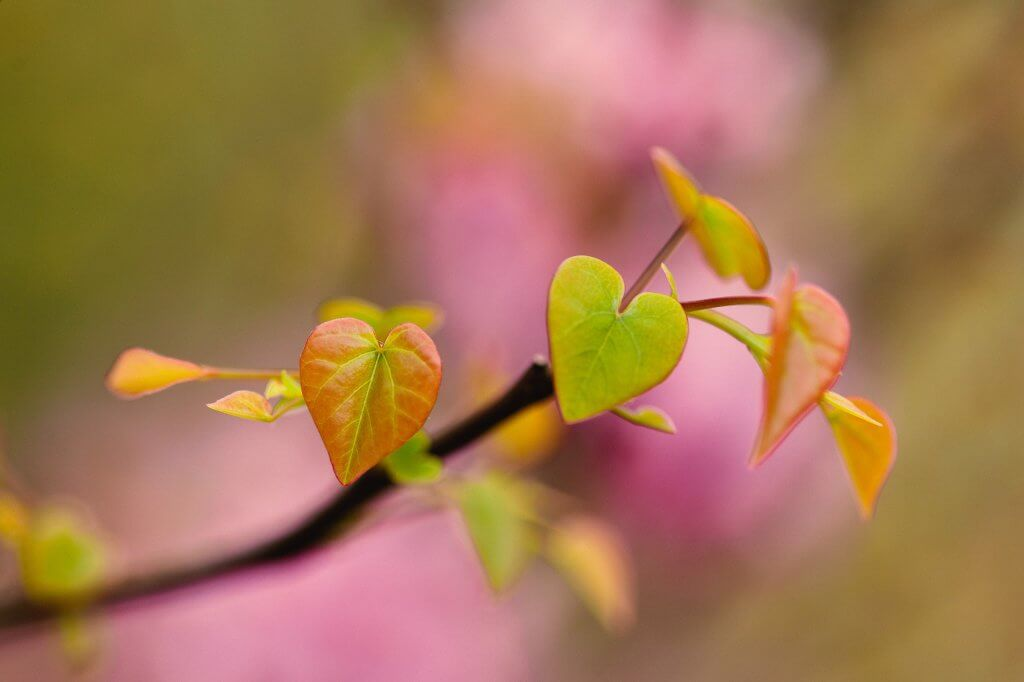 Heart Shaped Young Leaves (Cercis canadensis)