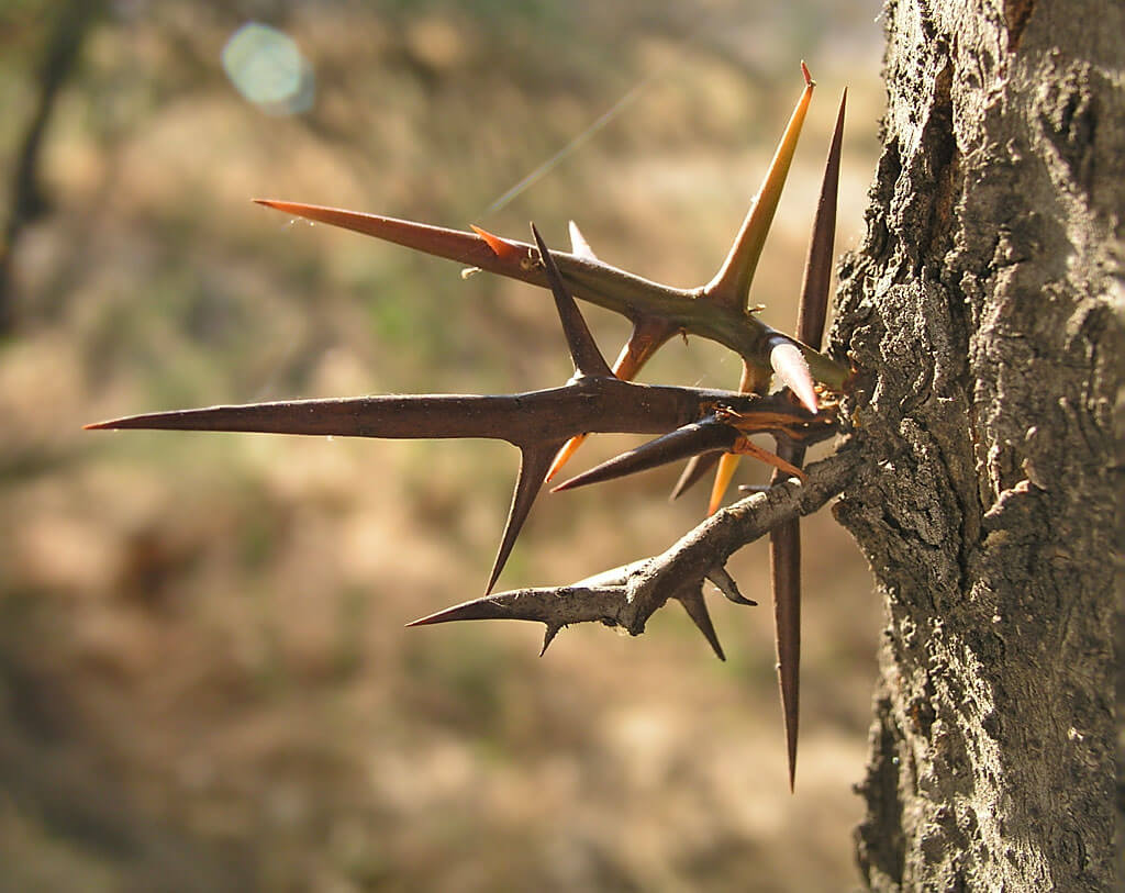 Honey Locust thorns (Gleditsia triacanthos)