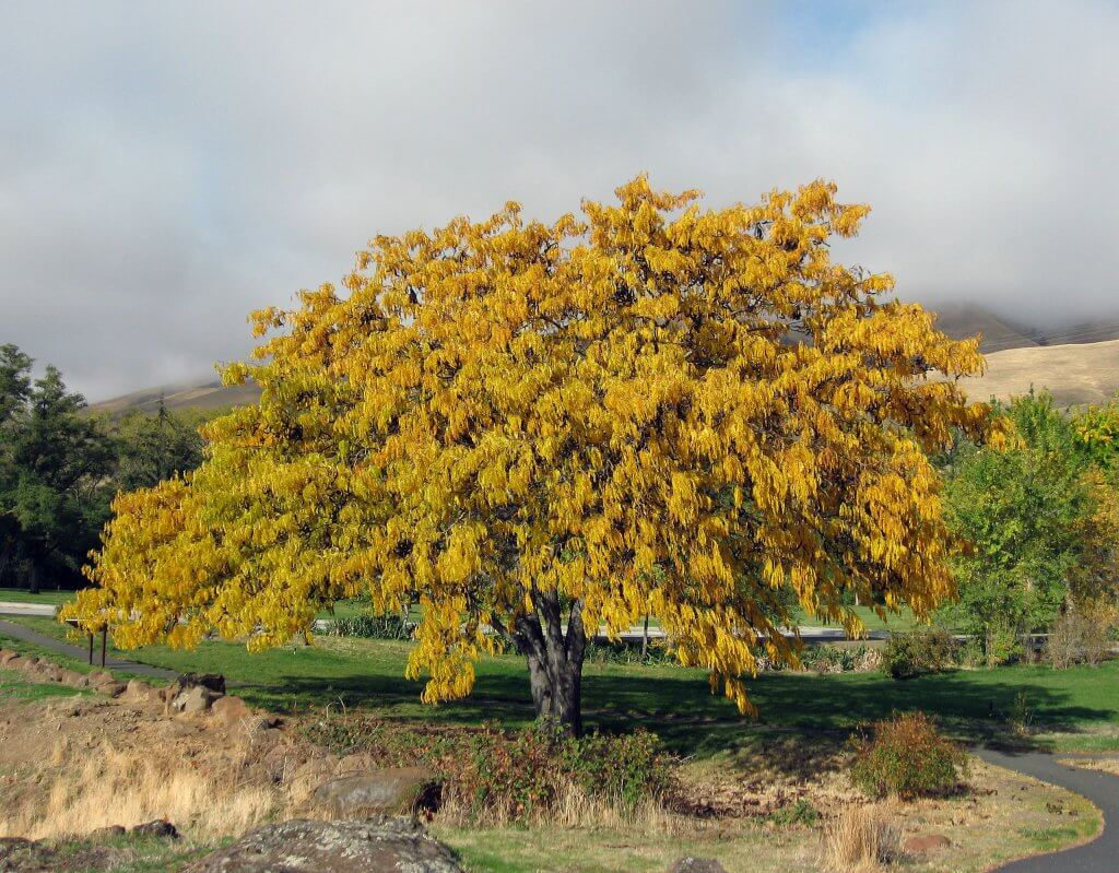 Honey Locust in the fall (Gleditsia triacanthos)