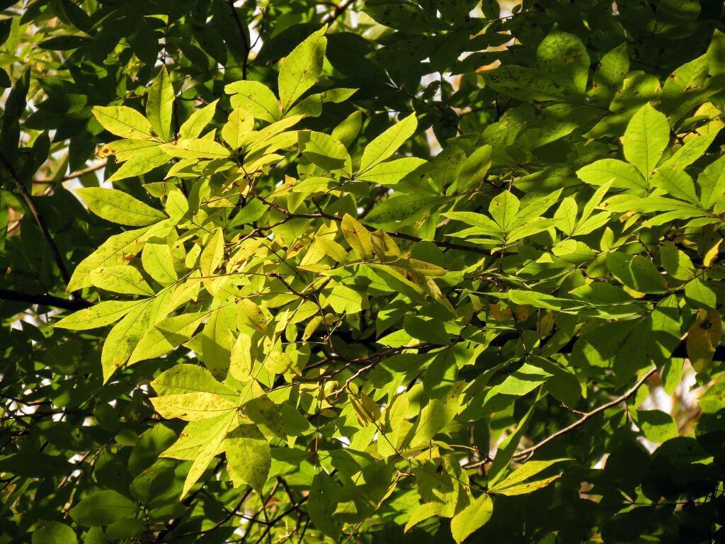 Green ash leaves (Fraxinus pennsylvanica)