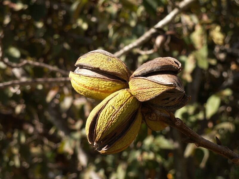 Ripened pecan fruits splitting open to reveal the nut