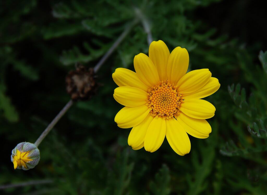 Image of Blooming Bright Yellow Chamomile Flower.