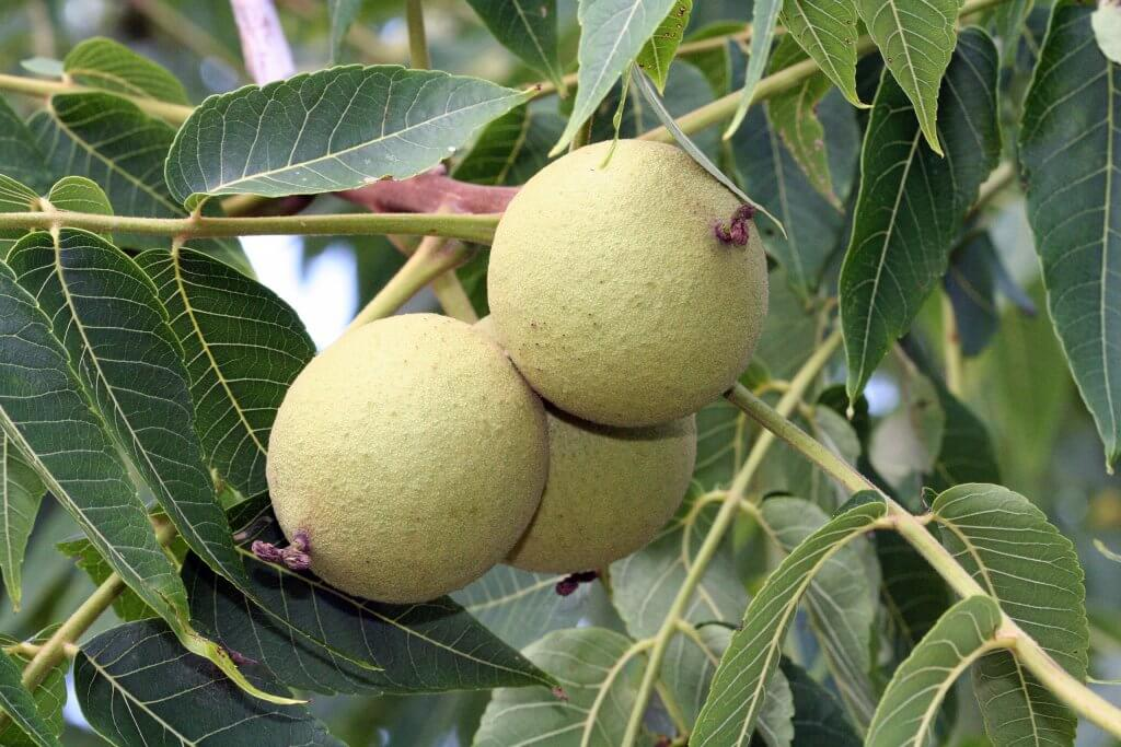 Black walnut fruits (Juglans nigra)