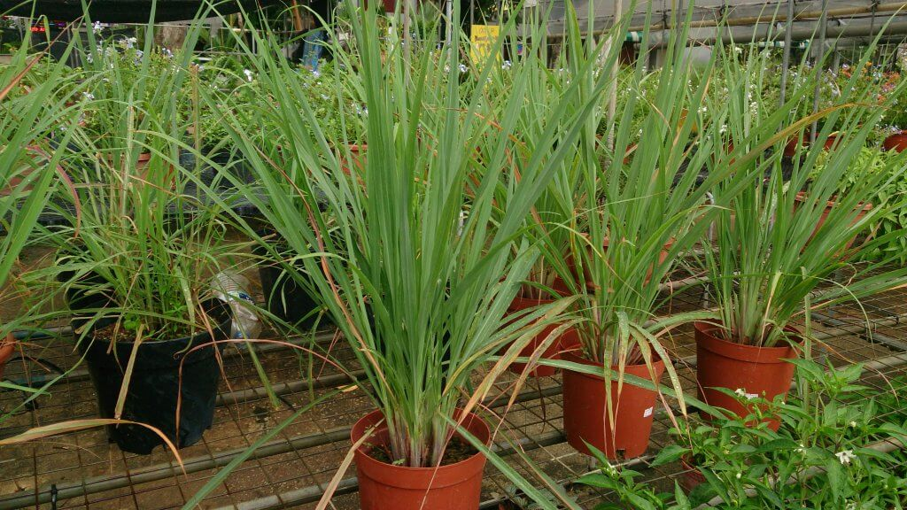 Pots of fresh lemongrass growing in a nursery.
