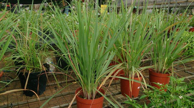 Pots of fresh lemongrass growing in a nursery.