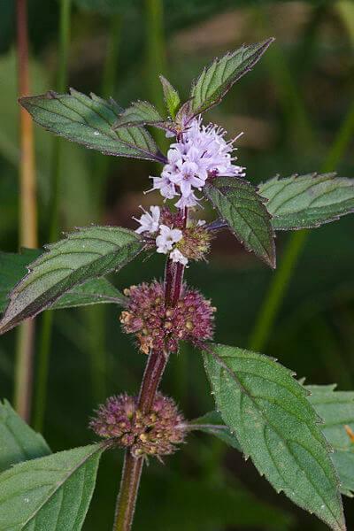 American herb