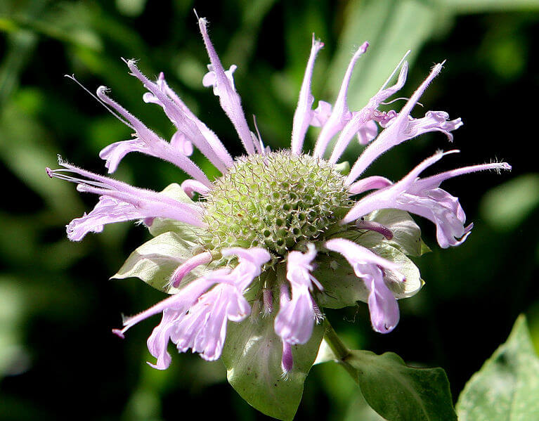Monarda Fistulosa - American Herb
