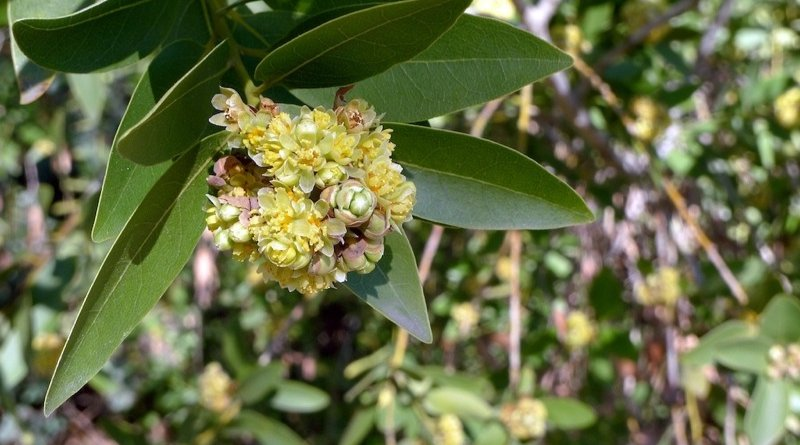 Wild Bay Leaf - Native American Plant
