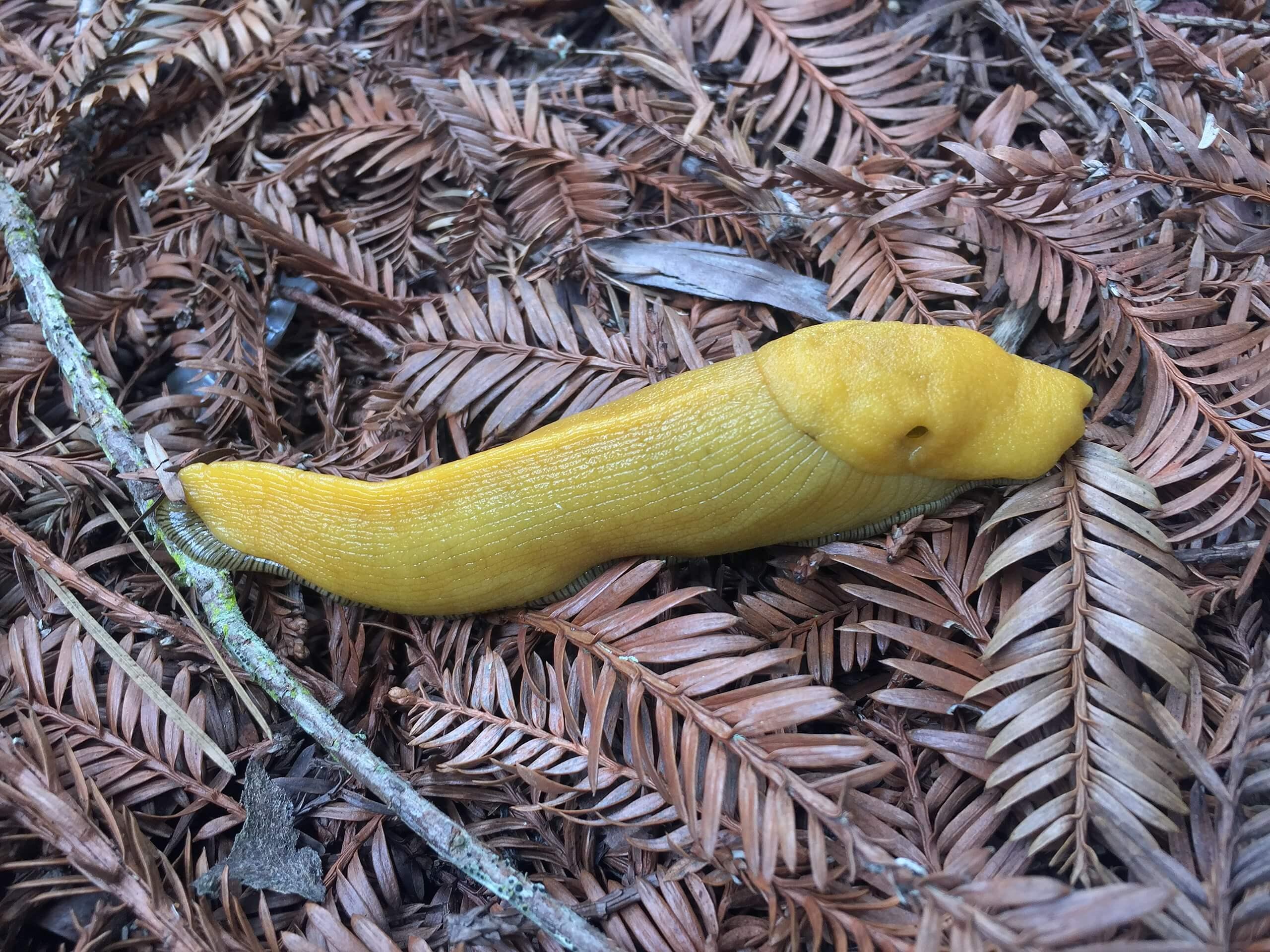 The California Banana Slug
