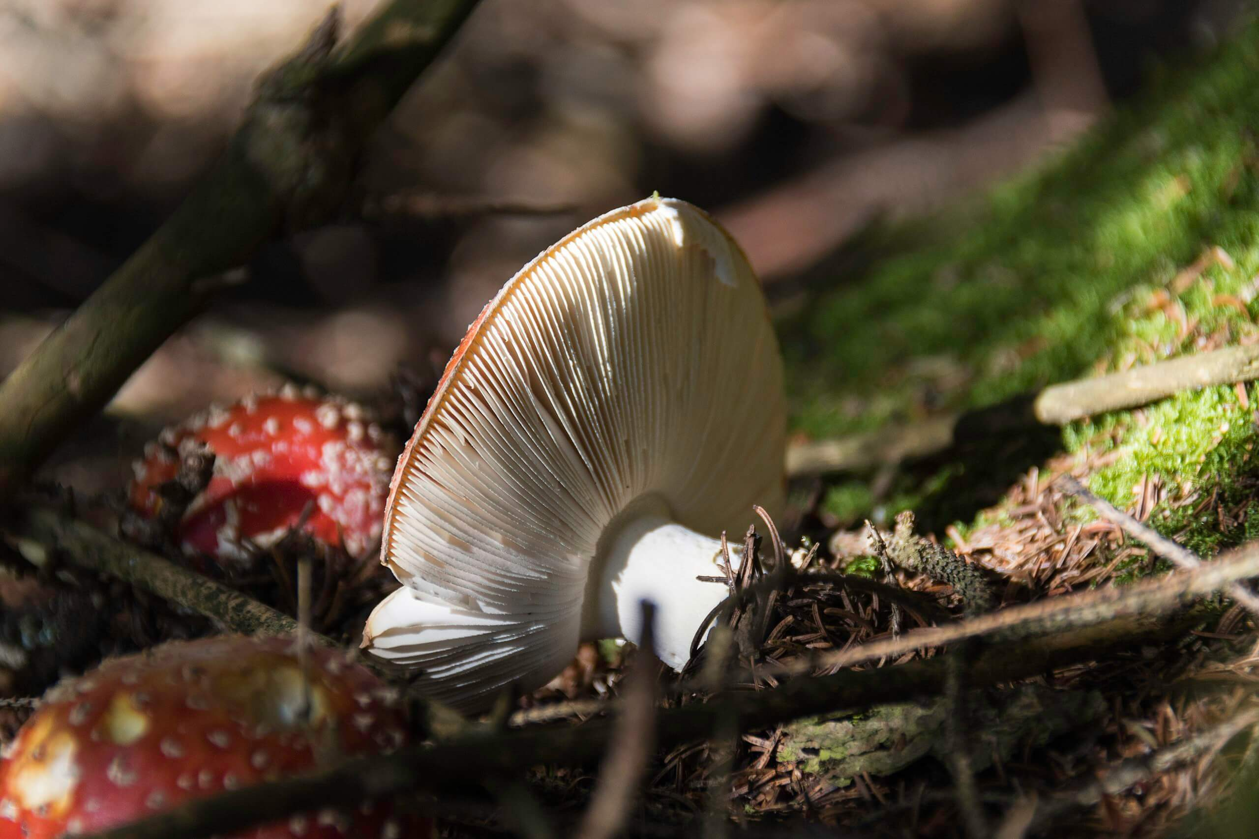 The gills of the Fly Agaric
