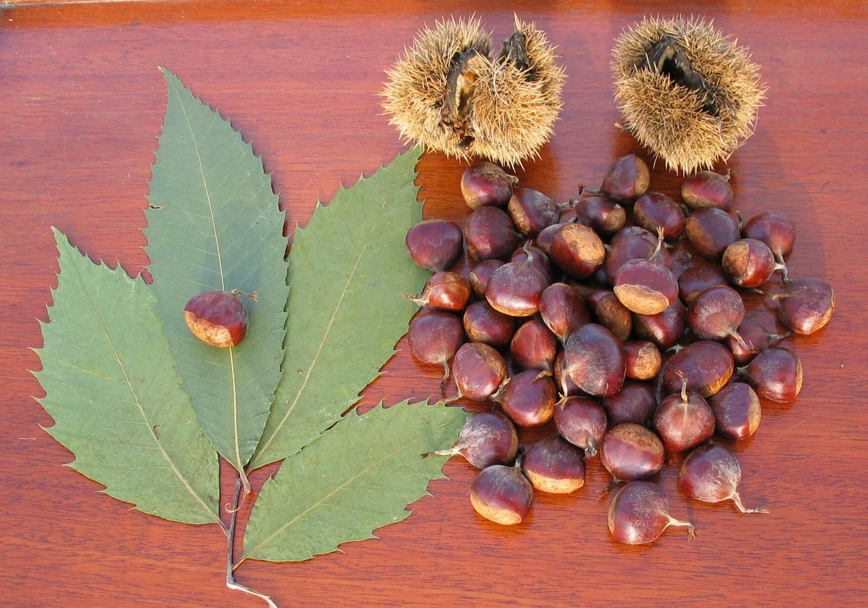 American Chestnut leaves, burrs and nuts