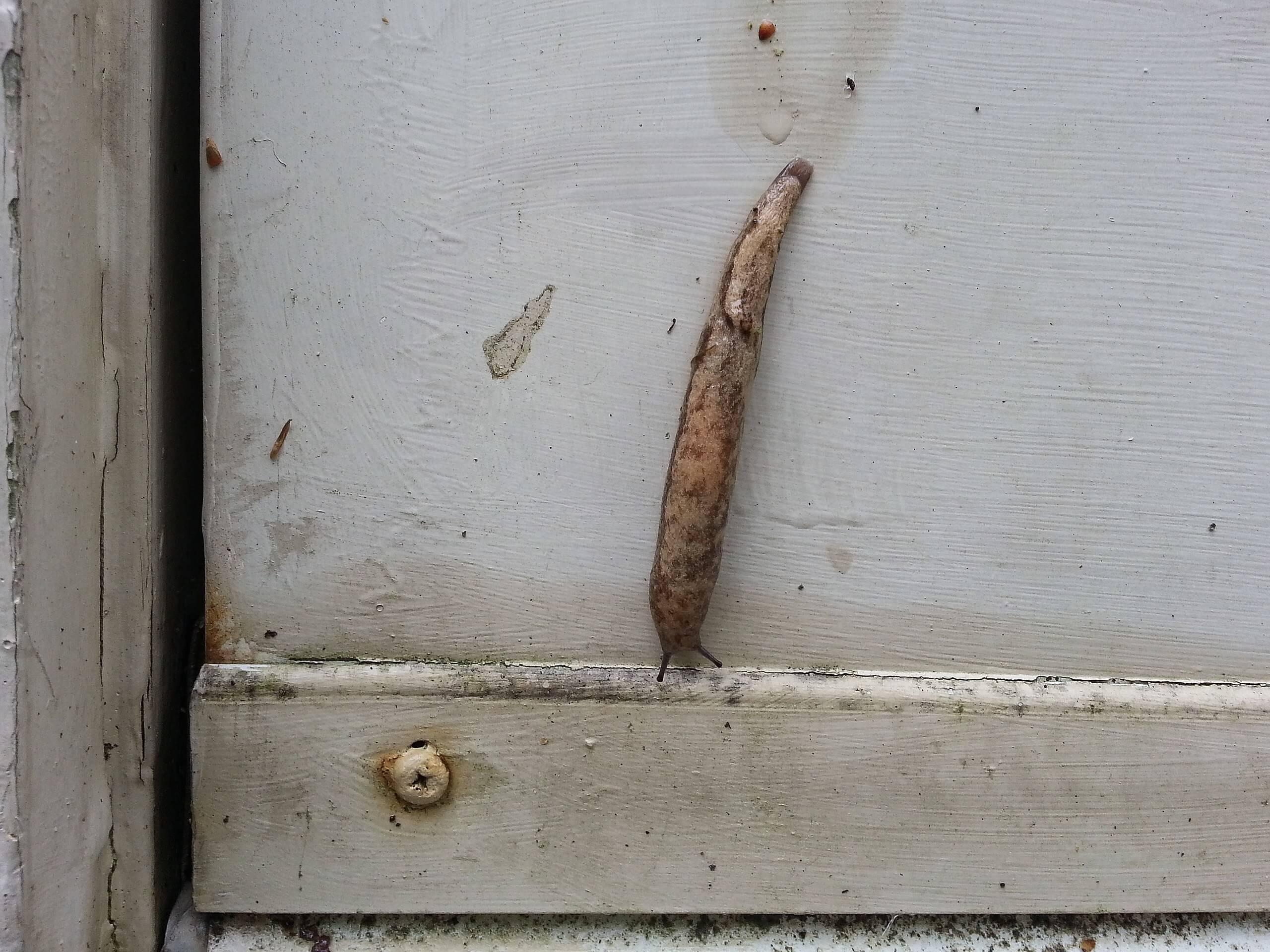 The Carolina Mantleslug Slug On a Door