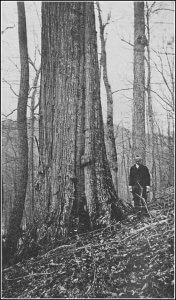 An old photo of a large American chestnut tree trunk with a man standing next to it for scale.