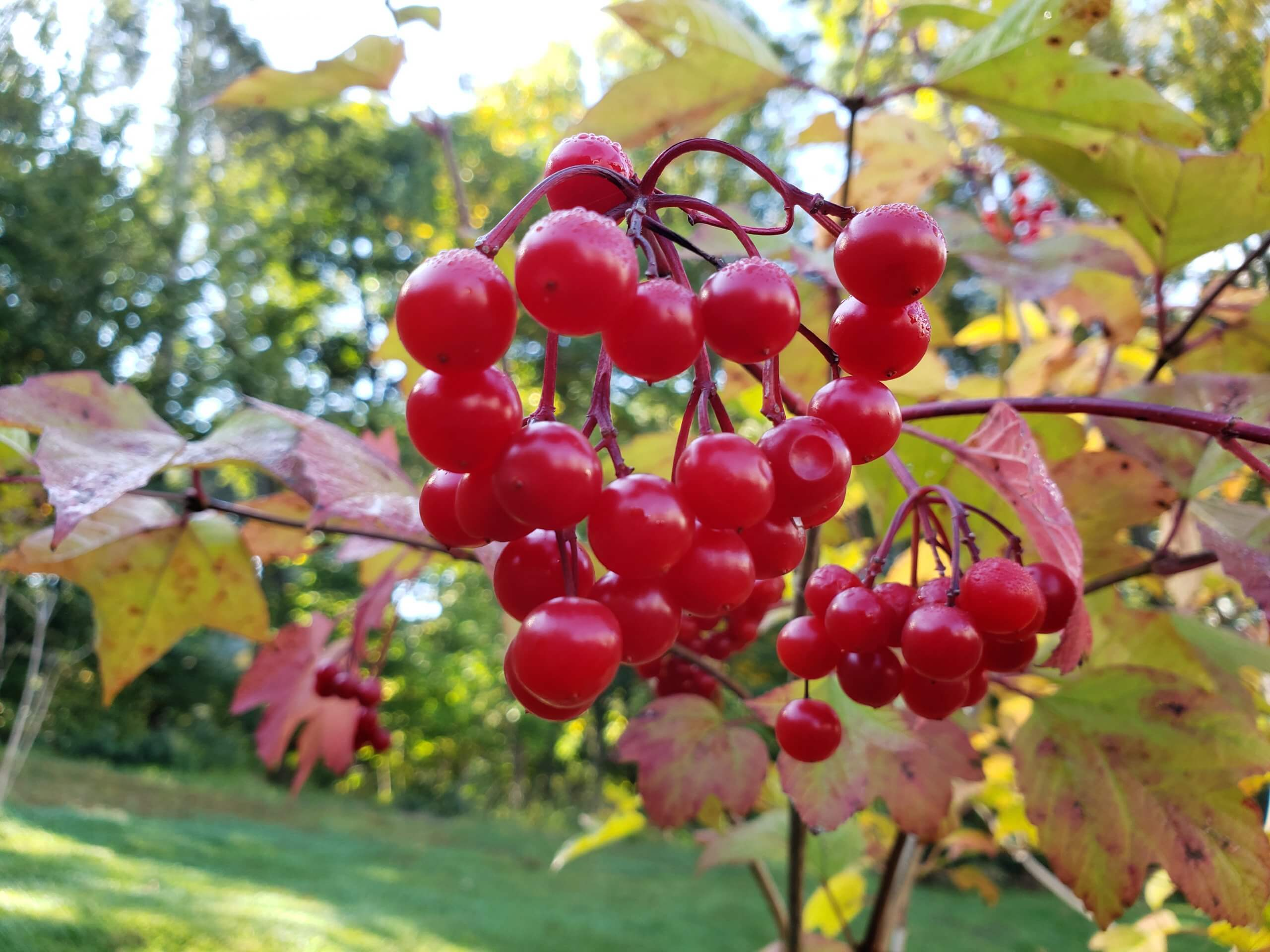 A close up of a cluster of bright red American Crannberrybush berries