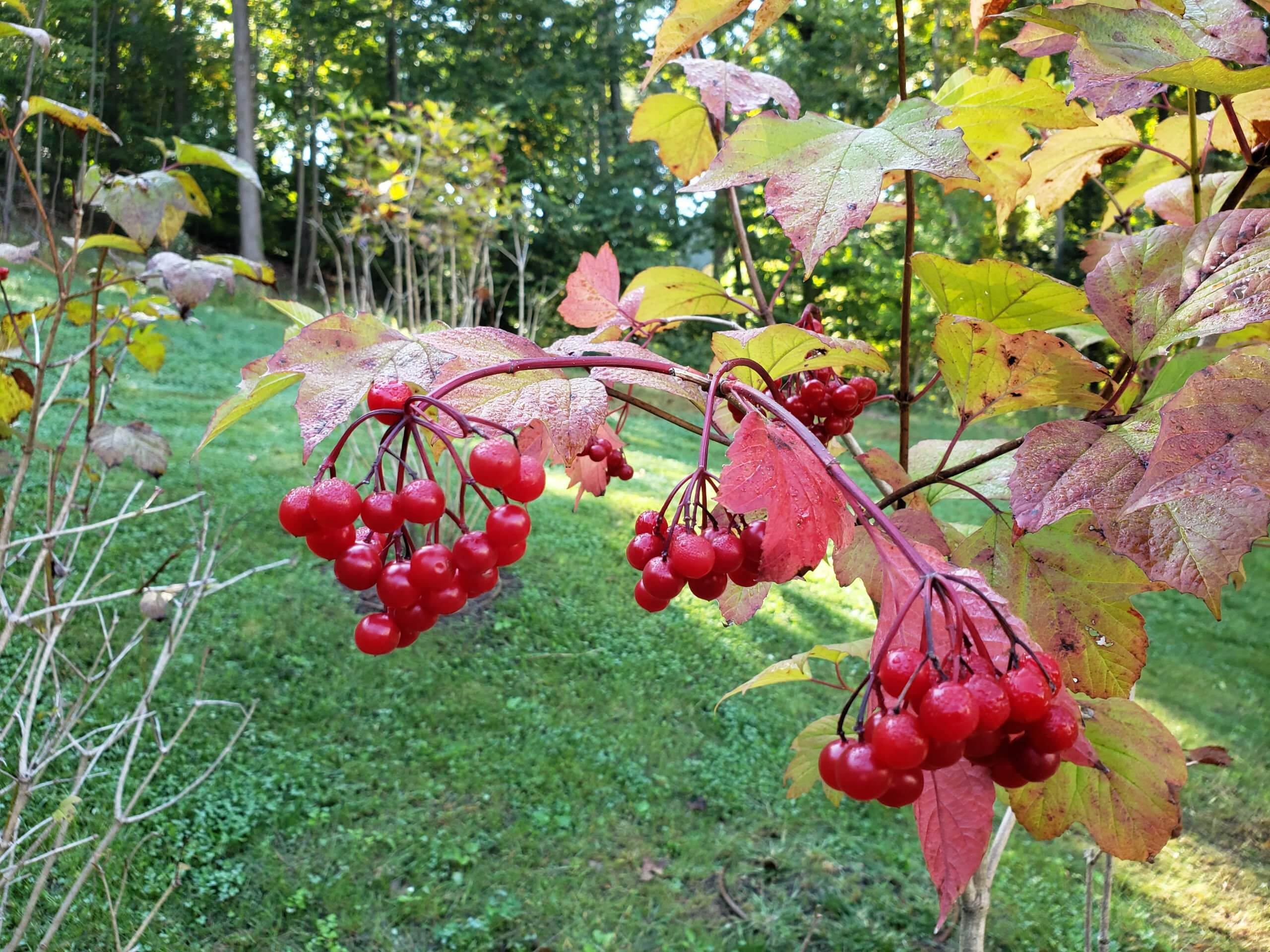 Leaves are setting to turn red as autumn approaches. Cluster of ruby red berries sit in the foreground.