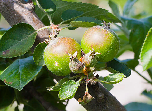 Two Ripening Domesticated Apples (Malus domestica)