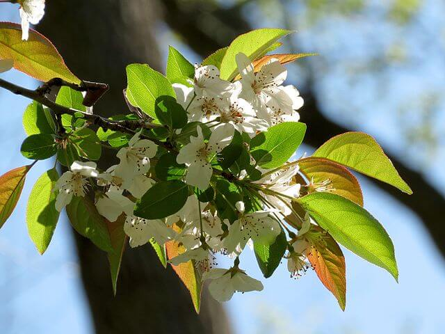 delicate white blossom on the Southern Crab apple (Malus angustifolia)
