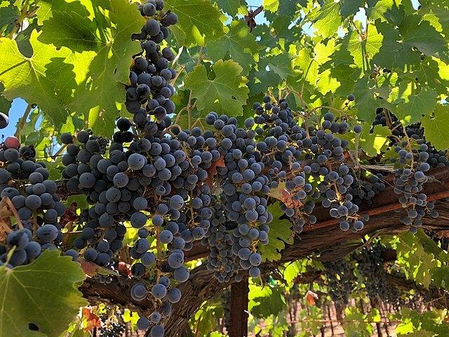 Cabernet sauvignon at Quarryhill Vineyard in Glen Ellen, California