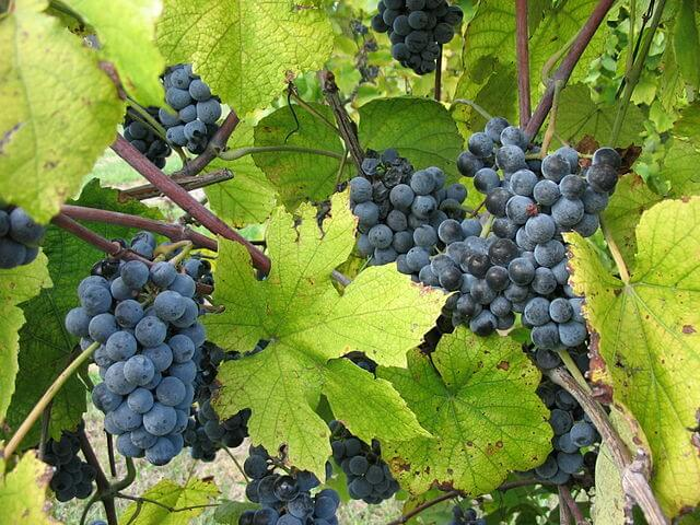 Norton grapes from the Vitis aestivalis family growing in Missouri.